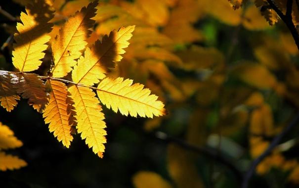 Фото обои осень, свет, природа, лист, желтое, на черном