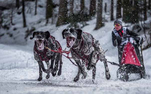 Фото обои собаки, фон, гонка, спорт