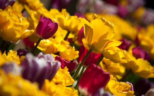 Фото обои лепестки, тюльпаны, бутоны