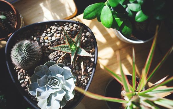 Фото обои иголки, земля, растения, кактусы, горшки