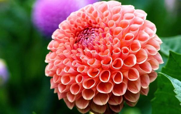 Фото обои цветок, красота, георгин