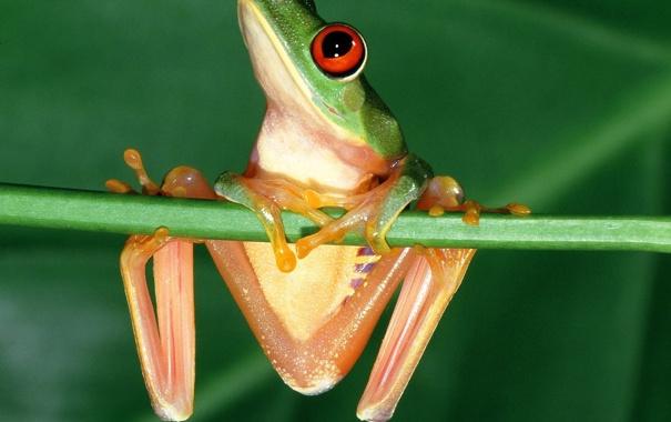 Фото обои глаза, лягушка, красные, frog