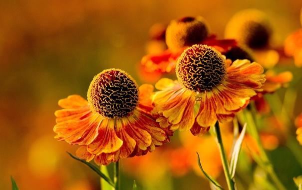 Фото обои цветы, природа, ромашки, гелениум