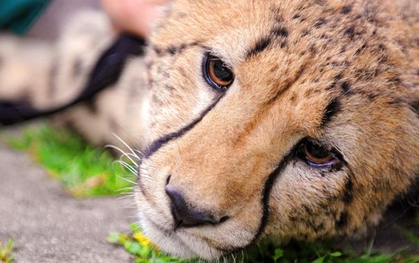 Фото обои морда, гепард, лежит, смотрит, грустный