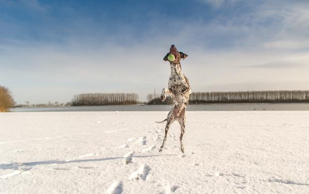 Фото обои зима, небо, облака, снег, деревья, собака, теннисный мяч