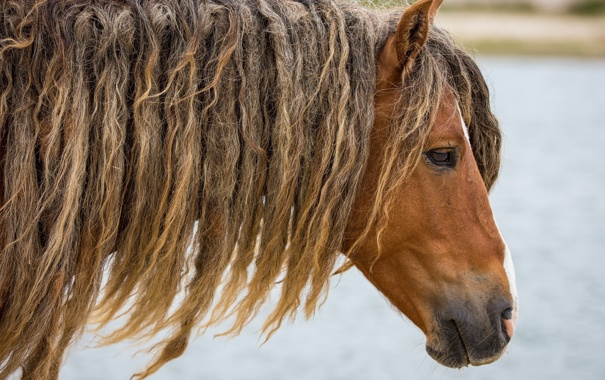 Фото обои морда, конь, лошадь, голова, прическа, грива, профиль