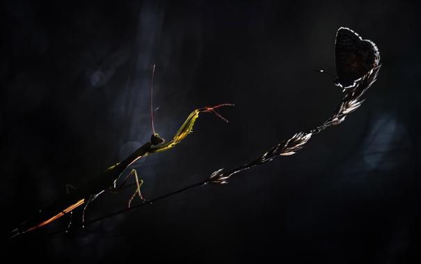 Фото обои цветок, ночь, опасность, бабочка, богомол, стебель, насекомое