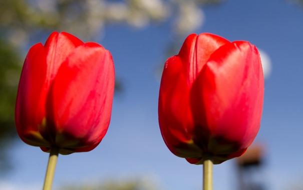 Фото обои небо, макро, лепестки, стебель, тюльпаны