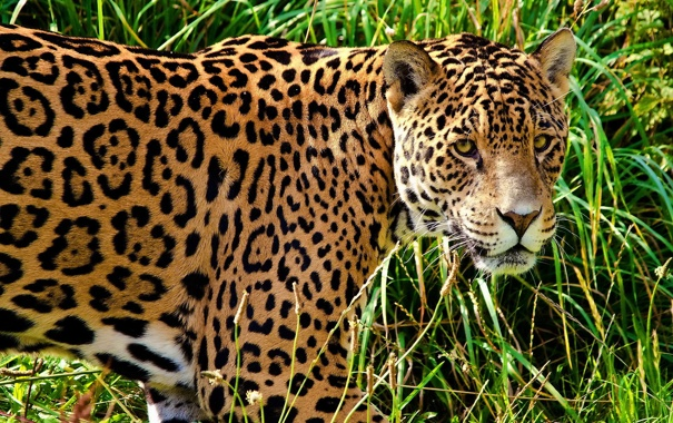 Фото обои трава, морда, хищник, пятна, ягуар, профиль, смотрит