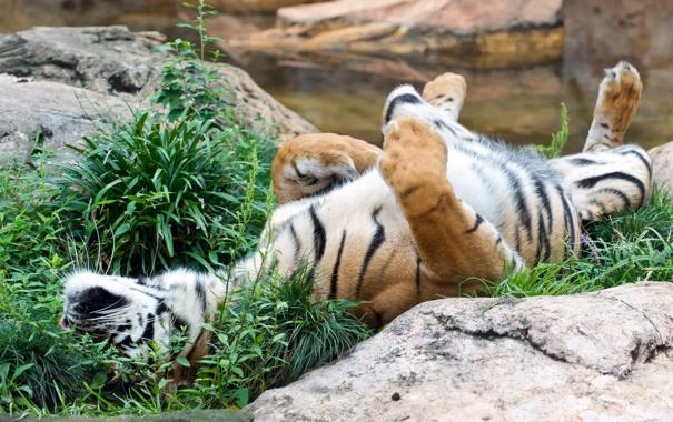 Фото обои кошка, трава, тигр, отдых, камень, суматранский