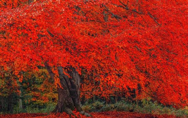 Фото обои осень, дерево, листва, крона