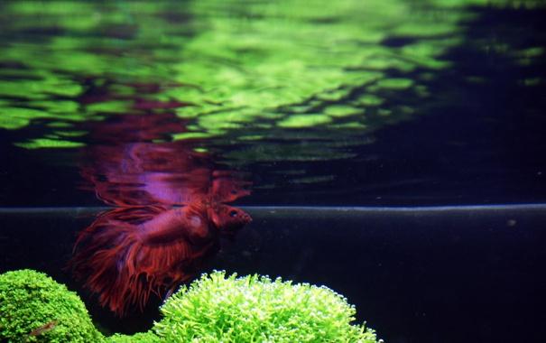 Фото обои рыбы, отражение, аквариум, растения, под водой, петушок