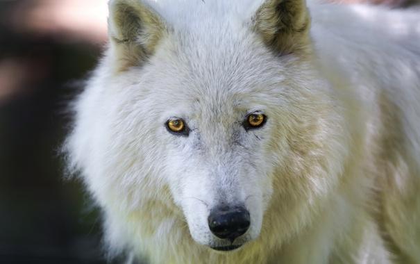 Фото обои взгляд, морда, арктический волк, Мелвильский островной волк