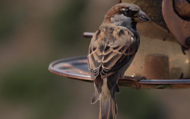 Фото обои птица, воробей, боке, кормушка