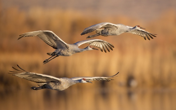 Фото обои осень, птицы, полёт