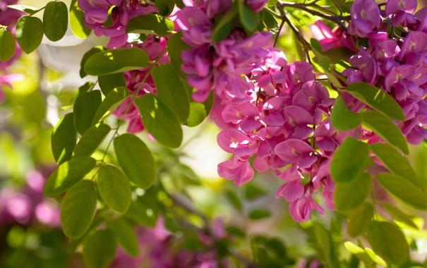Фото обои листья, макро, цветение, акация