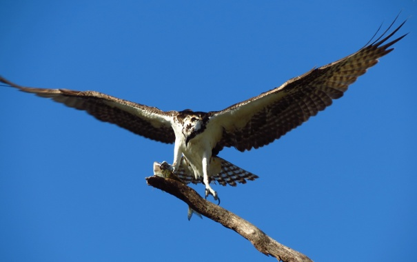 Фото обои небо, птица, крылья, ветка, ястреб