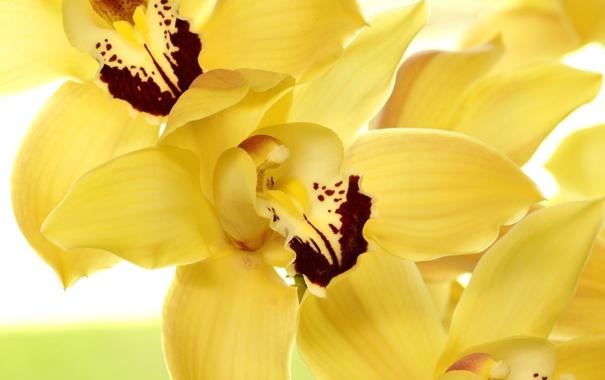 Фото обои цветы, желтые, лепестки, орхидеи