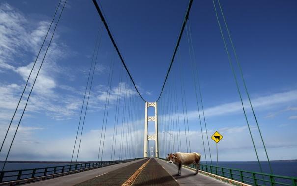 Фото обои Cow crossing, mackinac bridge, get out of the way