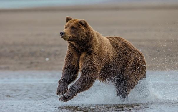 Фото обои медведь, Аляска, Alaska, гризли, Lake Clark National Park, озеро Кларк