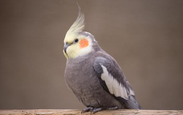 Фото обои птица, попугай, корелла