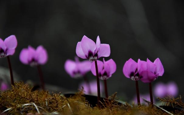 Фото обои цветы, природа, cyclamen