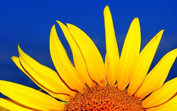 Фото обои цветок, небо, подсолнух, лепестки