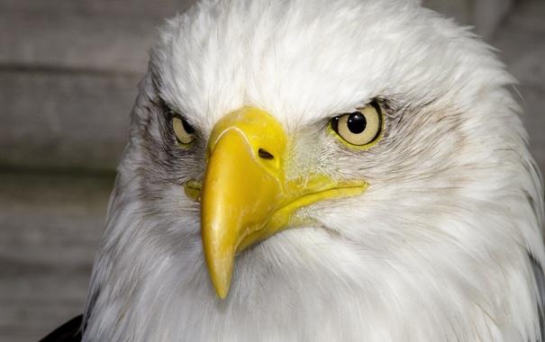 Фото обои птица, портрет, хищник, клюв, красавец, белоголовый орлан, гордый