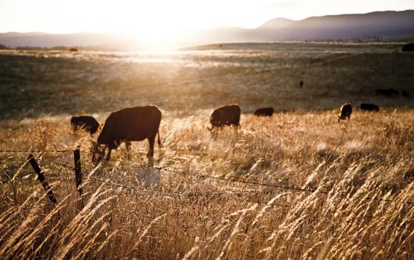 Фото обои закат, пейзаж, поле, коровы, забор