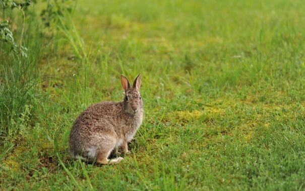 Фото обои зелень, трава, заяц, русак