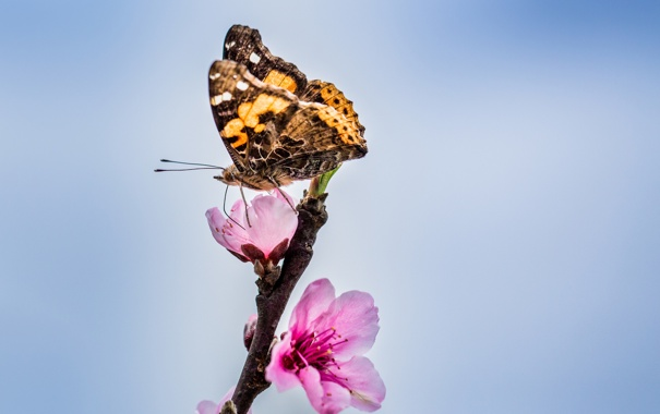 Фото обои бабочки, цветы, крылья, ветка, бутоны, усики, wings