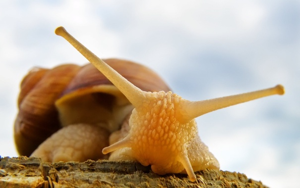 Фото обои макро, улитка, Roman Snail, слимак, равлик