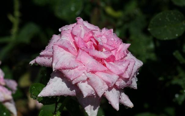 Фото обои листья, капли, розовая, роза, ветка, лепестки, бутоны