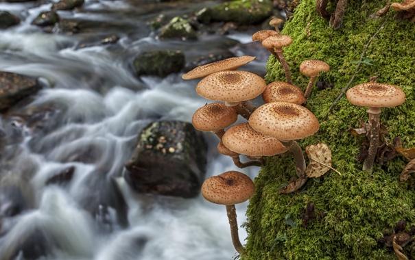 Фото обои макро, река, грибы, мох, опята