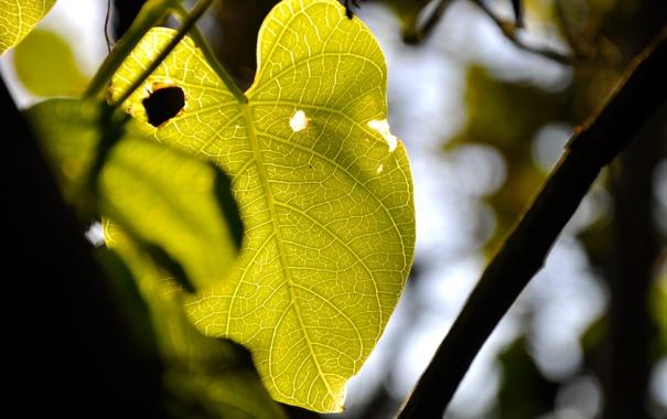 Фото обои Листья, Зелень, Дерево, Лист, Макро, Ветка, Фото