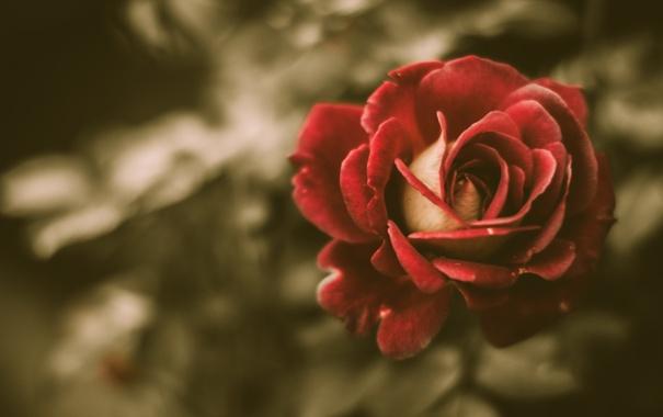 Фото обои rose, vintage, flower