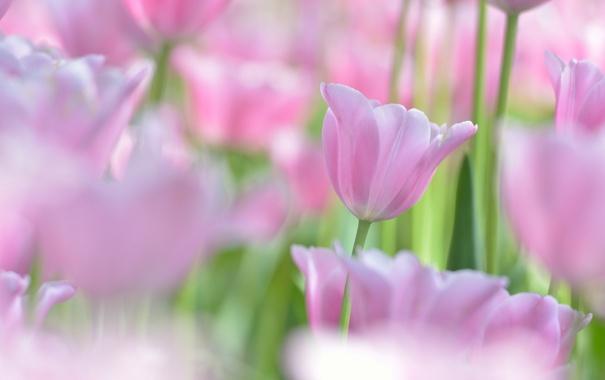 Фото обои макро, тюльпан, бутон, тюльпаны, боке