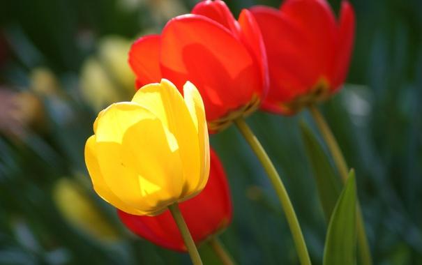 Фото обои красные, тюльпаны, желтый, размытость