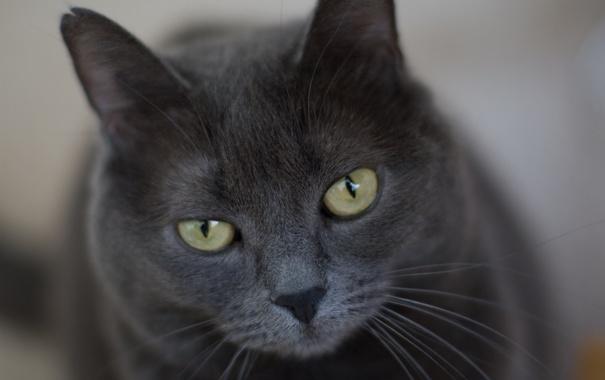 Фото обои кот, серый, строгий