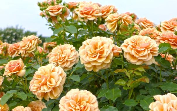 Фото обои розы, бутоны, кусты