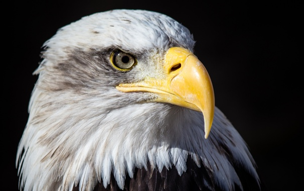 Фото обои темный фон, птица, портрет, хищник, клюв, красавец, белоголовый орлан