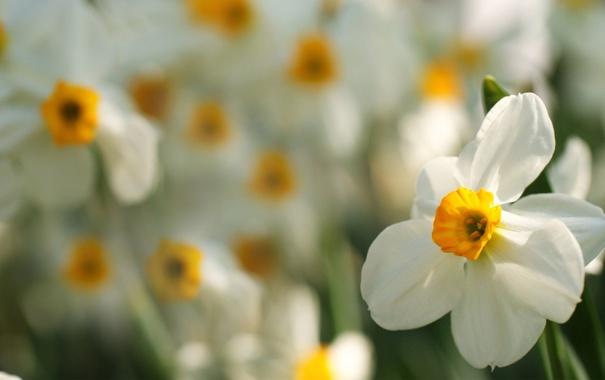 Фото обои макро, цветы, фокус, размытость, нарциссы