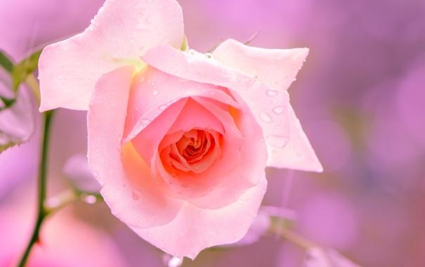 Фото обои цветок, макро, розовый, роза