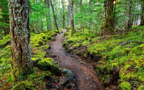 Фото обои лес, деревья, природа, тропа