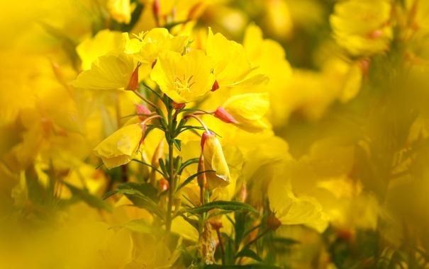 Фото обои лето, цветы, природа, желтые, боке