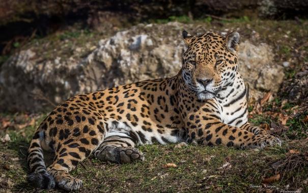Фото обои лежит, дикая кошка, отдых, хищник, ягуар