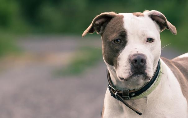 Фото обои друг, собака, pitbull
