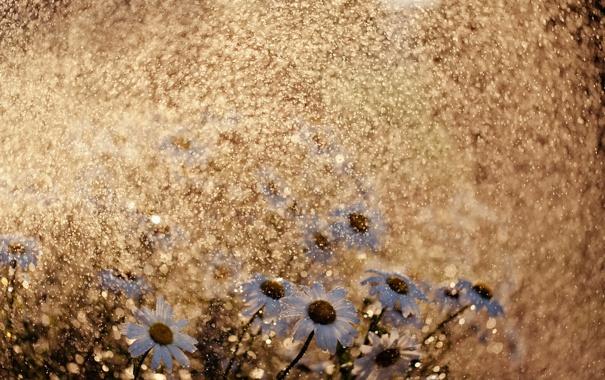 Фото обои цветы, природа, дождь, ромашки