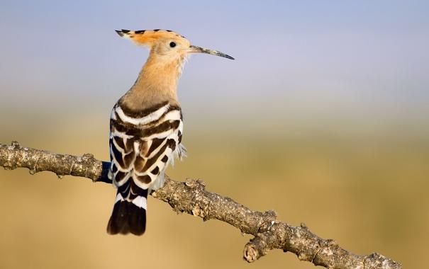 Фото обои птица, ветка, Upupa epops, Удод