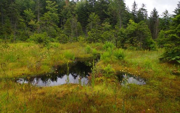 Фото обои лес, небо, трава, вода, деревья, болото